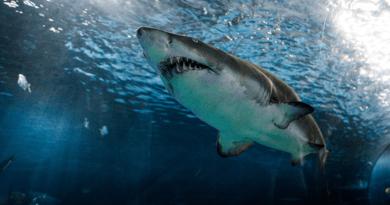 Gobierno Nacional prohíbe la pesca artesanal e industrial de tiburón en el país