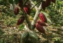 Colombia participará con nueve muestras de cacao en la edición 2021 de los 'International Cocoa Awards'